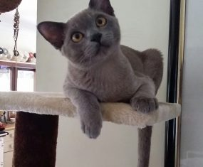 Blue Burmese Kitten: Spotlight on Smokey Loki